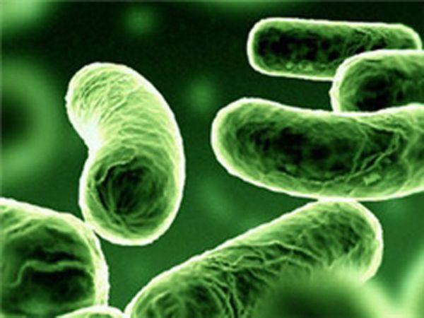 Микроскопический вид кишечной палочки.