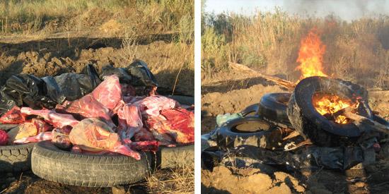 туши и шкуры больных животных сжигаются