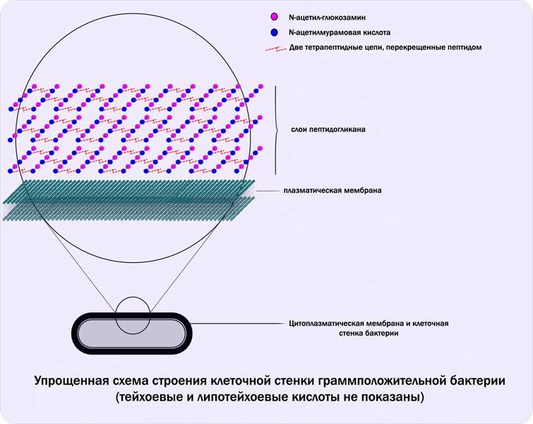 Схематическое строение клеточной стенки Гр+ бактерий.