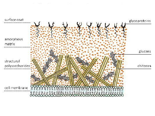 Клеточная стенка грибов.