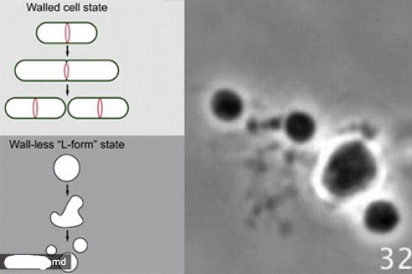 Микроскопический вид деления L-формы бактерий
