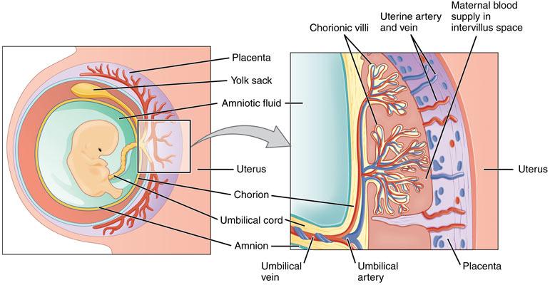 Схема гемато-плацентарного барьера. Компоненты Флуимуцила легко его преодолевают, поэтому беременным назначать его следует с осторожностью.