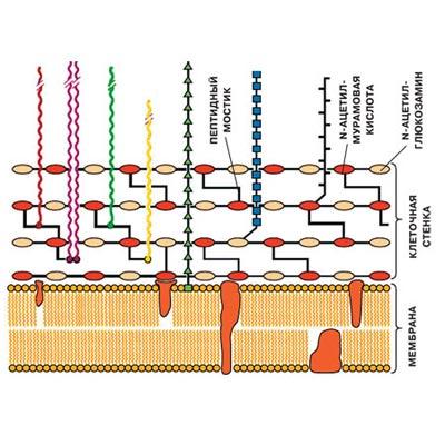 Схема строения клеточной