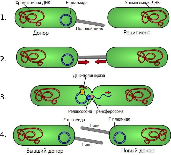 Схема конъюгации у бактерий.