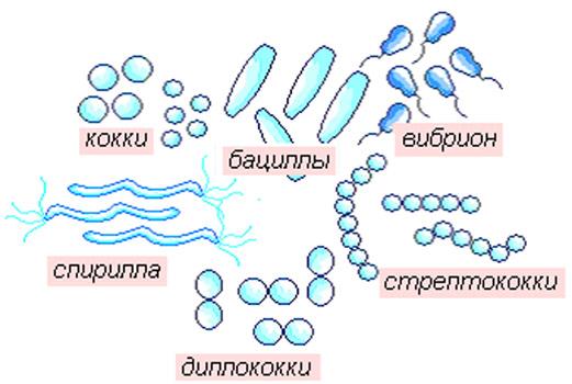 Основные формы бактерий.