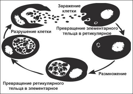 Рис. 1. Цикл развития хламидий в организме человека.