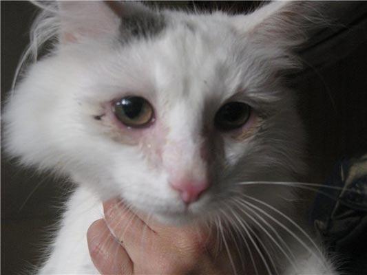 Глаза больной кошки.