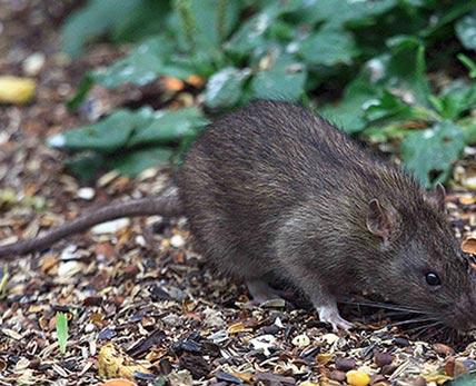черная крыса - переносчик чумы
