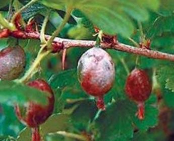 поражение ягод плесневыми грибами