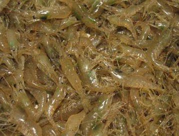 азовские креветки с холерой