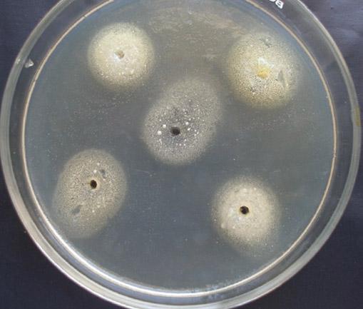 грибки Malassezia furfur