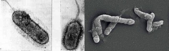 полезные бактерии - Тиобациллы