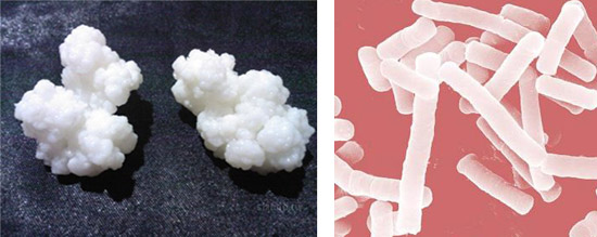 полезные бактерии - кефирный гриб и молочнокислые палочки