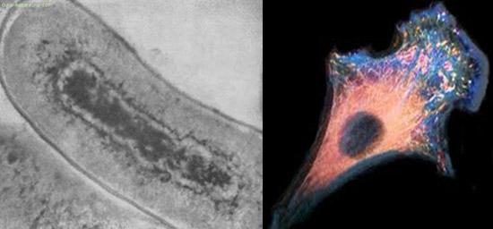 срез бактериальной клетки