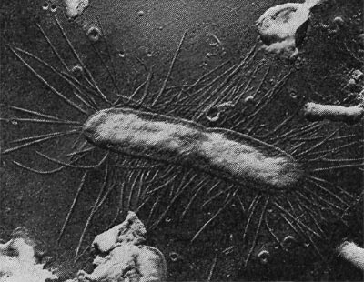 бактериальная клетка с фимбриями