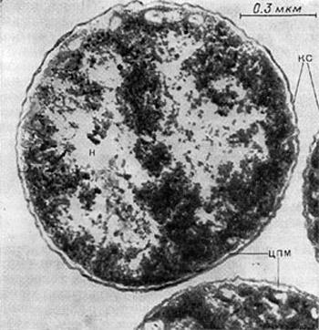 строение клетки бактерий