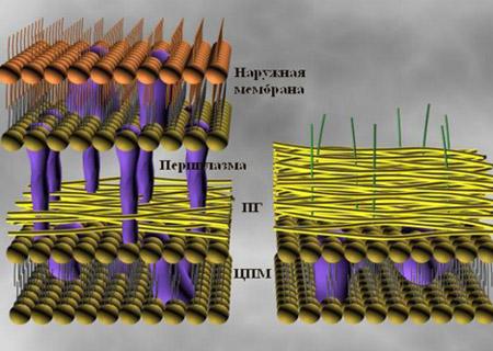 строение бактериальной стенки грамположительных и грамотрицательных