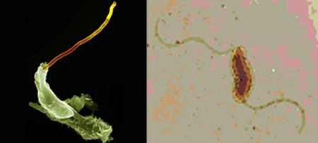 разные типы жгутиковых микробов