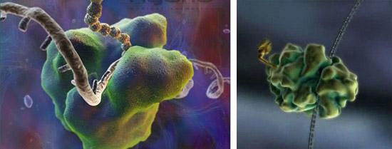 момент синтеза белка из аминокислот