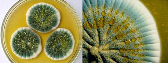 штаммы Penicillium notatum и Penicillium chrysogenum образуют пенициллин