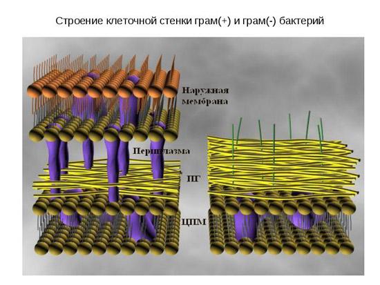 строение бактериальной стенки