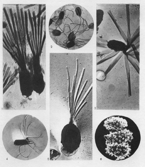 споры бактерий рода клостридиум