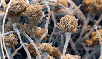 грибы аспергиллы