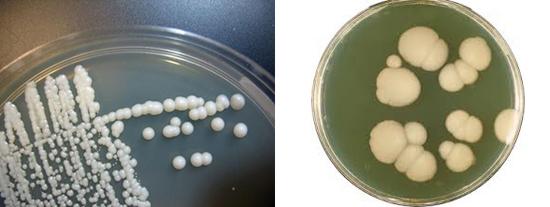 колонии грибов Candida
