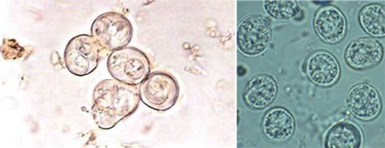 ооцисты токсоплазм