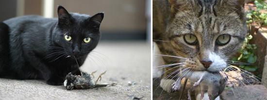 кошки - основной источник токсоплазм