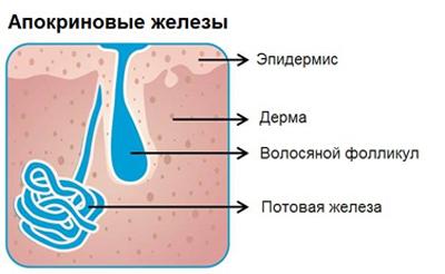 структура потовых желез