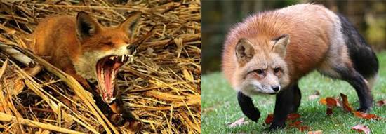 источник бешенства - красные лисицы