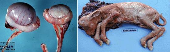 проявления бруцеллеза у животных