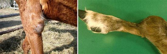 бруцеллез у животных