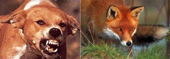 больные бешенством собаки и рыжие лисицы