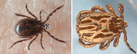 самец иксодового таежного клеща (Ixodes persulcatus) слева и гамазовый клещ справа.