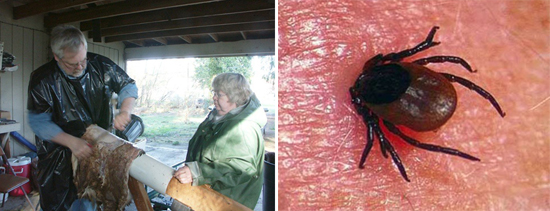 контакт со шкурками убитых инфицированных животных и укусы