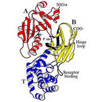 структура дифтерийного токсина