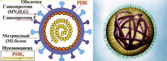 строение вируса кори