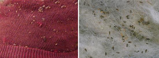 скопление платяных вшей на одежде (фото)