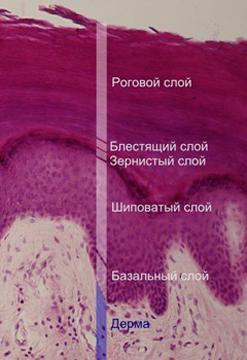 эпидермис строение