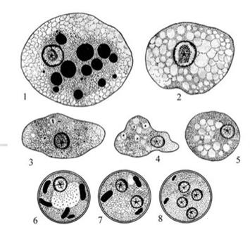 дизентерийная амеба Entamoeba histolytica