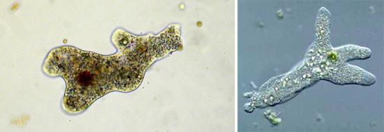 микроскоп Entamoeba histolityca