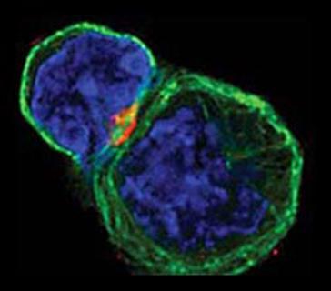 взаимодействие иммунных клеток