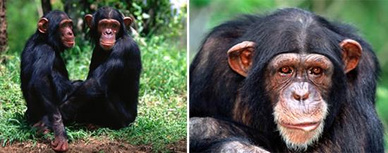 вич от шимпанзе