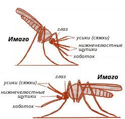 malyarijnyj-komar-p-26