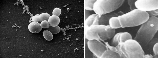грибок Malassezia furfur