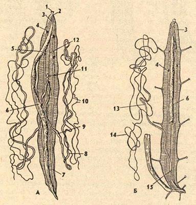 аскариды строение