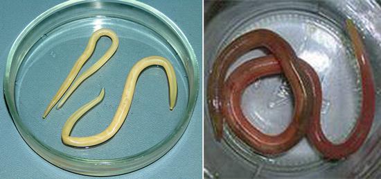 фото самец самка аскариды