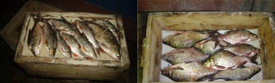 засолка рыбы описторхоз